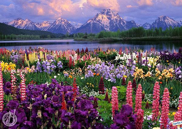 Meadows of Flowers Gulmarg